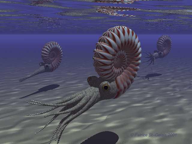 ammonit 1