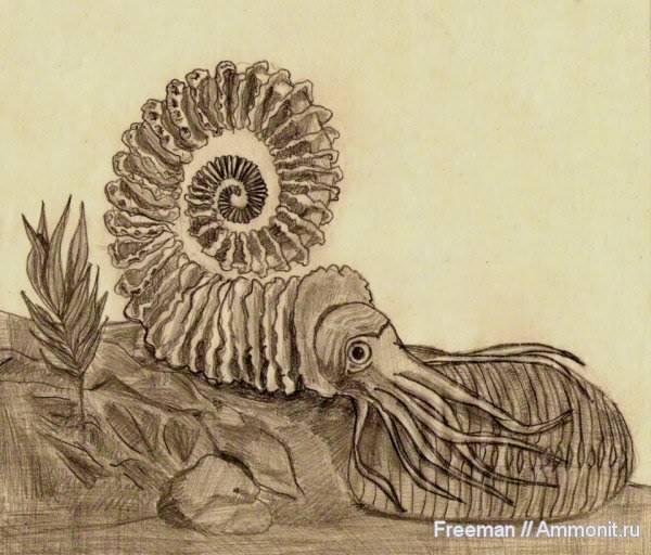 ammonit 5